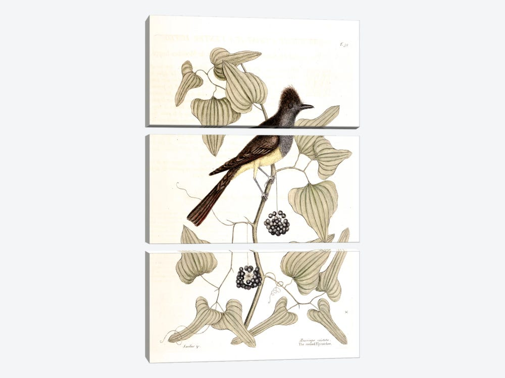 Crested Flycatcher & Smilax Tamnoides (Bristly Greenbrier) by Mark Catesby 3-piece Canvas Wall Art