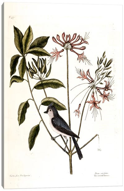 Catesby's Natural History Series: Crested Titmouse & Upright Honeysuckle Canvas Print #CAT51