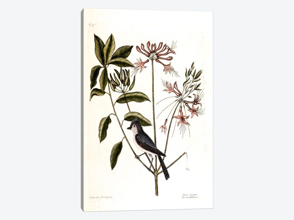 Crested Titmouse & Upright Honeysuckle by Mark Catesby 1-piece Canvas Print
