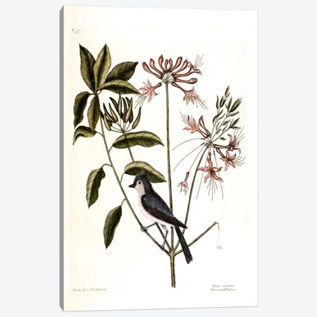 Crested Titmouse & Upright Honeysuckle Canvas Print #CAT51} by Mark Catesby Art Print