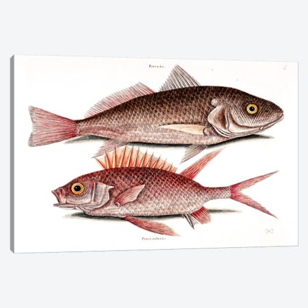 Croker (Atlantic Croaker) & Squirrelfish Canvas Print #CAT52} by Mark Catesby Art Print