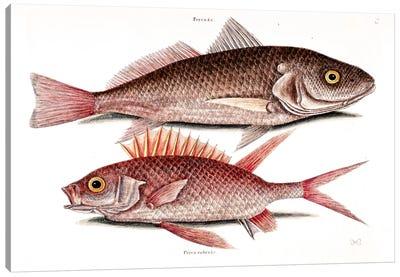 Catesby's Natural History Series: Croker (Atlantic Croaker) & Squirrelfish Canvas Print #CAT52