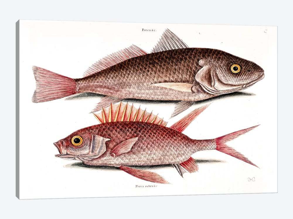 Croker (Atlantic Croaker) & Squirrelfish by Mark Catesby 1-piece Canvas Artwork