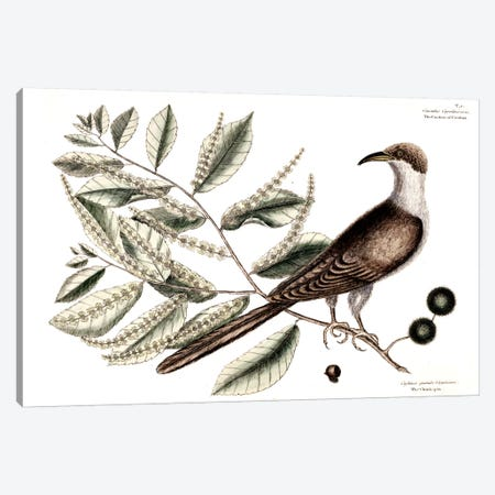 Cuckow Of Carolina & Chinkapin Canvas Print #CAT53} by Mark Catesby Canvas Print