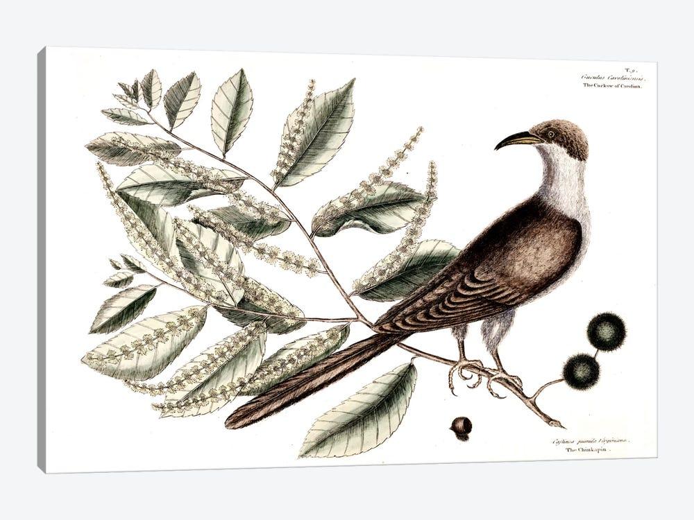 Cuckow Of Carolina & Chinkapin by Mark Catesby 1-piece Canvas Print