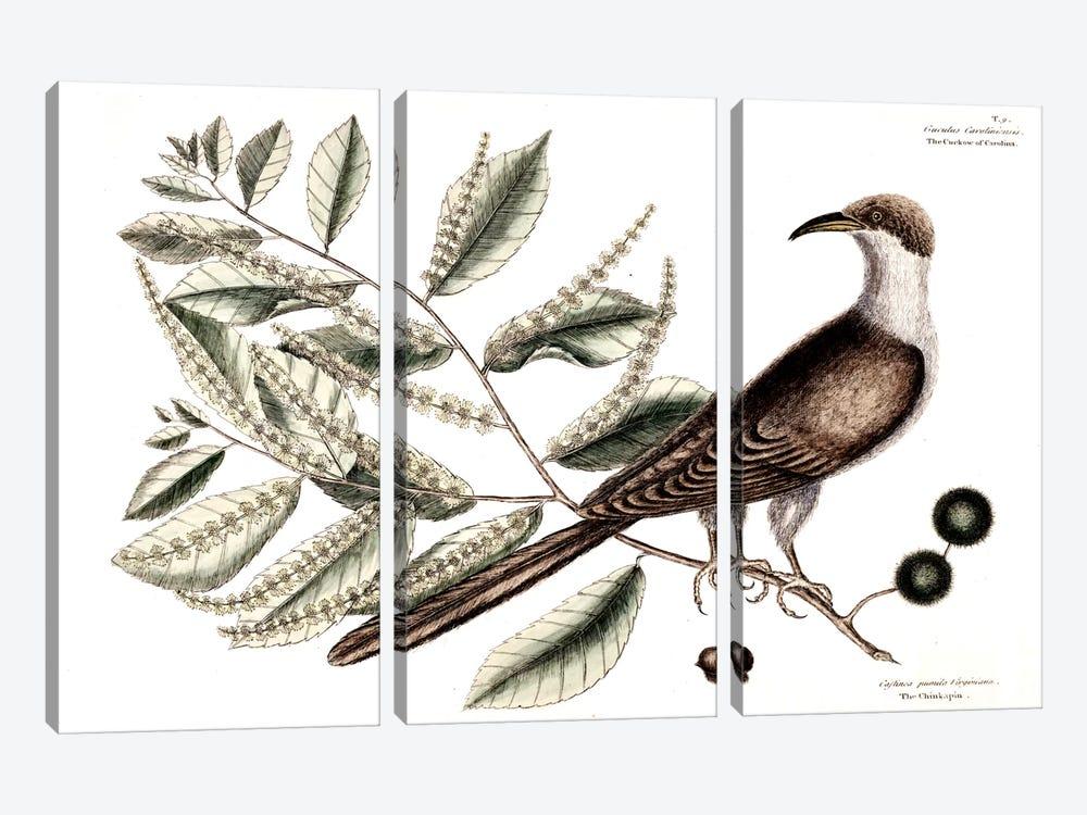 Cuckow Of Carolina & Chinkapin by Mark Catesby 3-piece Art Print