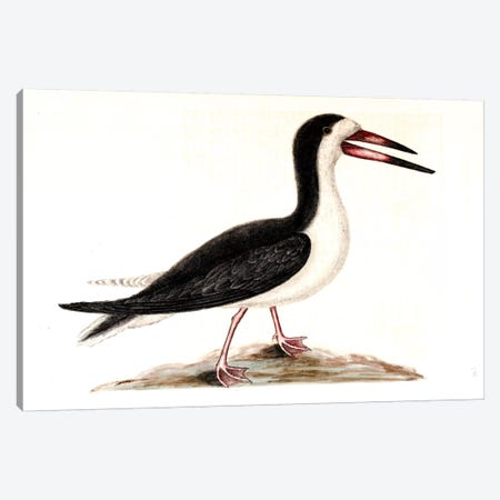 Cutwater (Black Skimmer) Canvas Print #CAT54} by Mark Catesby Canvas Artwork