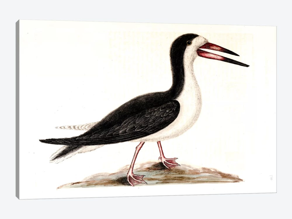 Cutwater (Black Skimmer) by Mark Catesby 1-piece Canvas Wall Art