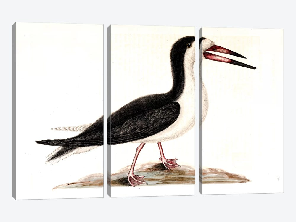 Cutwater (Black Skimmer) by Mark Catesby 3-piece Canvas Art