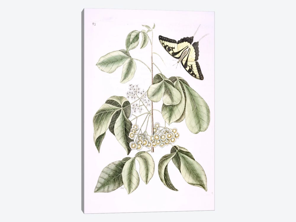 Eastern Tiger Swallowtail & Ptelea Trifoliata (Wafer Ash) by Mark Catesby 1-piece Canvas Print