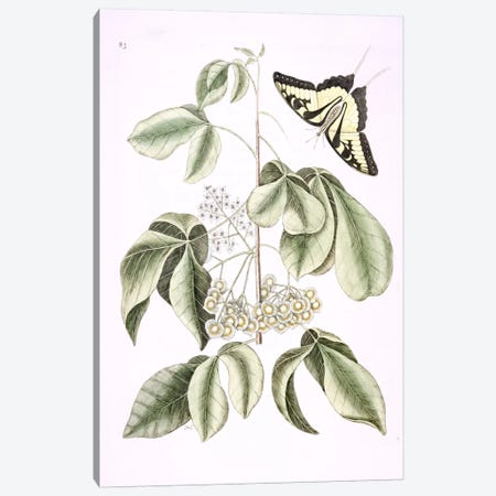 Eastern Tiger Swallowtail & Ptelea Trifoliata (Wafer Ash) Canvas Print #CAT55} by Mark Catesby Canvas Art