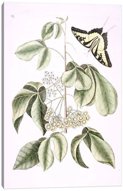 Eastern Tiger Swallowtail & Ptelea Trifoliata (Wafer Ash) Canvas Art Print
