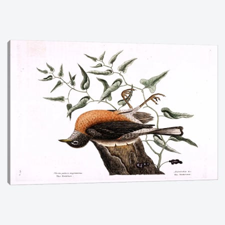 Fieldfare Of Carolina & Snake Root Of Virginia Canvas Print #CAT56} by Mark Catesby Canvas Art