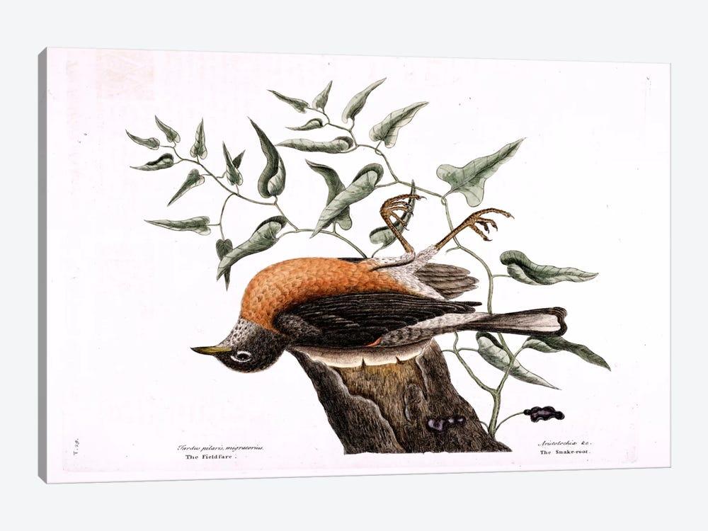 Fieldfare Of Carolina & Snake Root Of Virginia by Mark Catesby 1-piece Canvas Wall Art