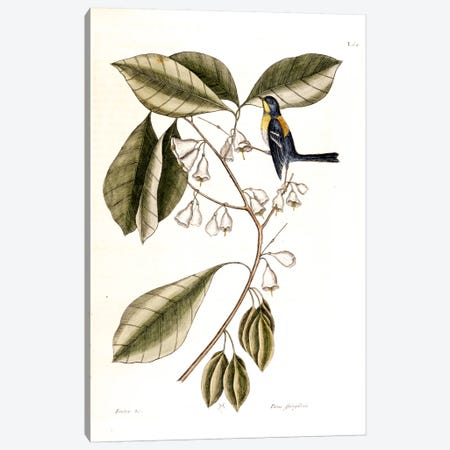 Finch Creeper & Halesia Tetraptera (Carolina Silverbell) Canvas Print #CAT57} by Mark Catesby Canvas Art