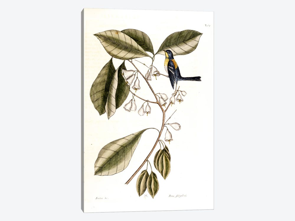Finch Creeper & Halesia Tetraptera (Carolina Silverbell) by Mark Catesby 1-piece Canvas Art Print