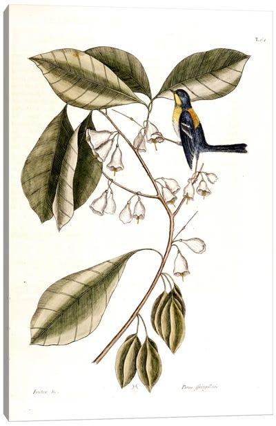 Finch Creeper & Halesia Tetraptera (Carolina Silverbell) Canvas Art Print