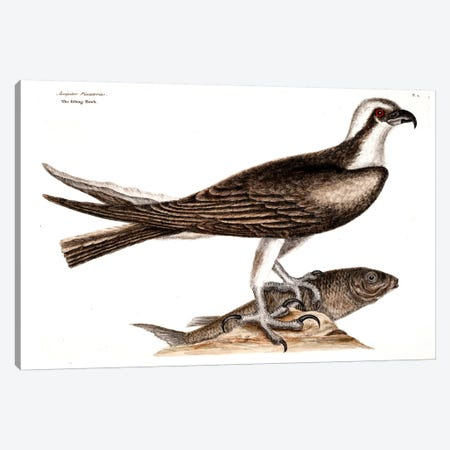 Fishing Hawk Canvas Print #CAT58} by Mark Catesby Canvas Art Print