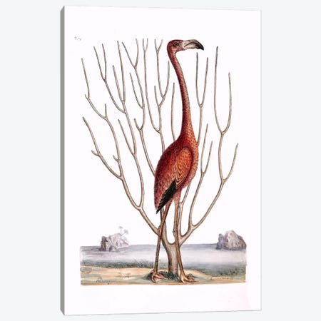 Flamingo & Keratophyton Dichotomum Fuscum Canvas Print #CAT59} by Mark Catesby Canvas Art Print