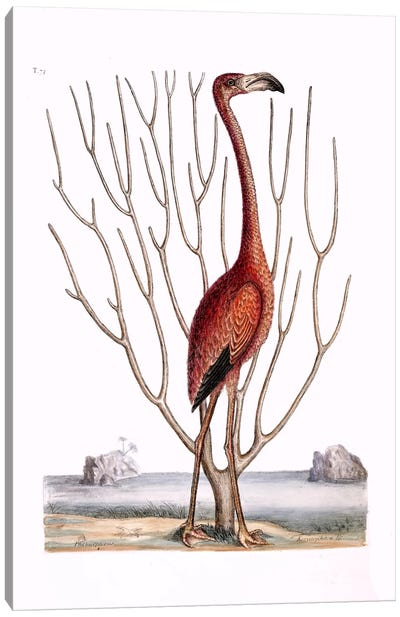 Flamingo & Keratophyton Dichotomum Fuscum Canvas Art Print