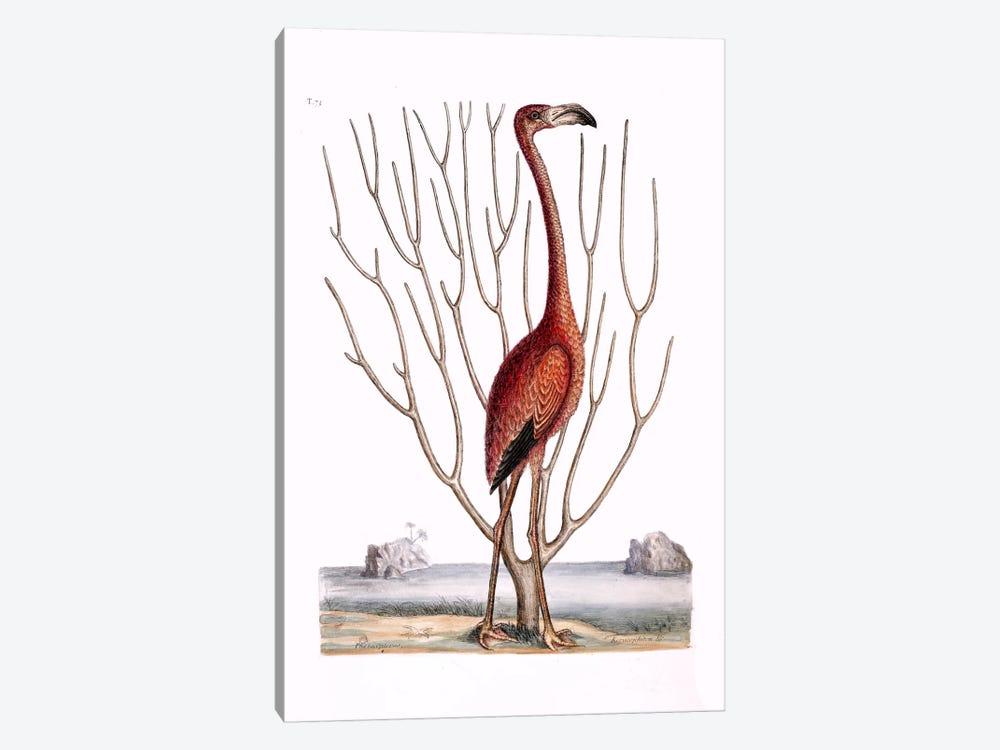 Flamingo & Keratophyton Dichotomum Fuscum by Mark Catesby 1-piece Art Print