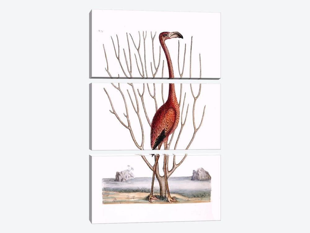 Flamingo & Keratophyton Dichotomum Fuscum by Mark Catesby 3-piece Canvas Art Print