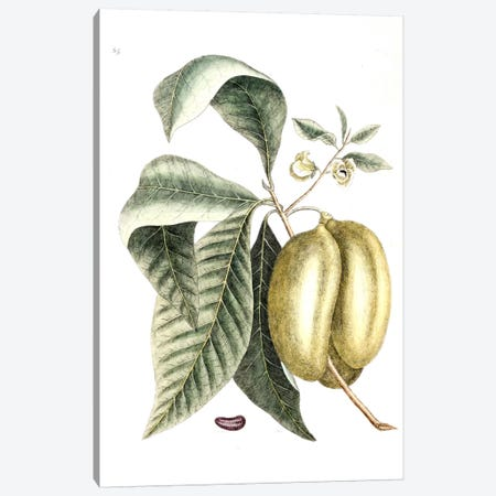 Annona Triloba (Pawpaw) Canvas Print #CAT5} by Mark Catesby Canvas Artwork