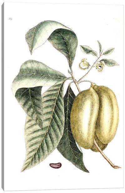Annona Triloba (Pawpaw) Canvas Art Print