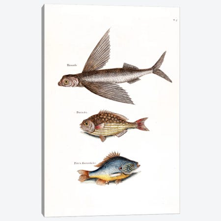 Flying Fish, Rudder Fish & Fresh-Water Pearch Canvas Print #CAT60} by Mark Catesby Canvas Artwork