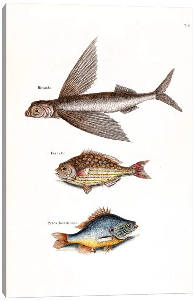 Catesby's Natural History Series: Flying Fish, Rudder Fish & Fresh-Water Pearch Canvas Print #CAT60