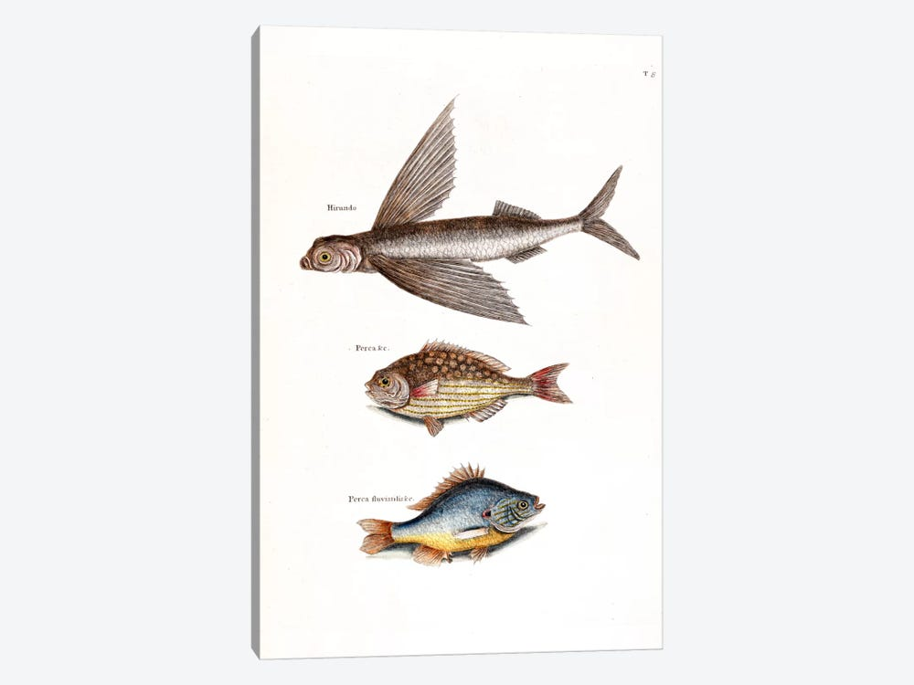 Flying Fish, Rudder Fish & Fresh-Water Pearch by Mark Catesby 1-piece Art Print