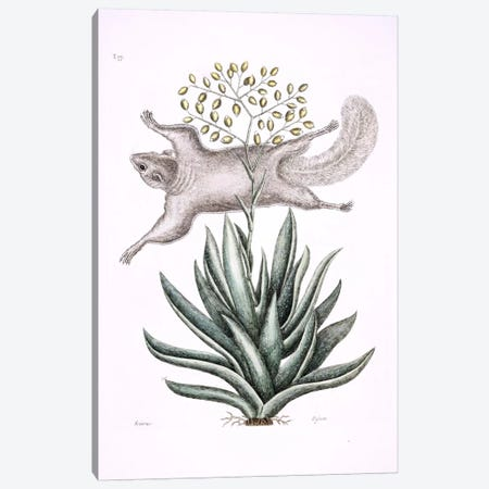 Flying Squirrel & Tillandsia Utriculata Canvas Print #CAT61} by Mark Catesby Canvas Art