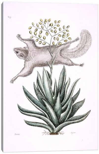 Flying Squirrel & Tillandsia Utriculata Canvas Art Print