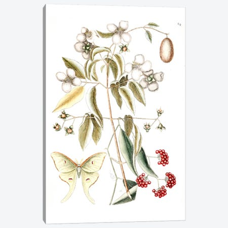 Four-Eyed Night Butterfly, Smilax Lanceolata (Laurel Greenbrier) & Philadelphus Inodorus (Scent Mock Orange) Canvas Print #CAT62} by Mark Catesby Canvas Artwork