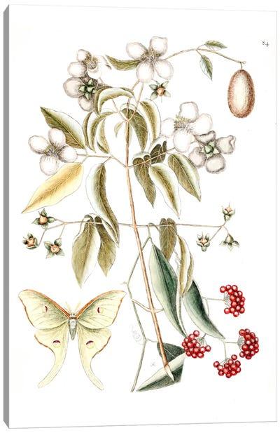 Catesby's Natural History Series: Four-Eyed Night Butterfly, Smilax Lanceolata (Laurel Greenbrier) & Philadelphus Inodorus (Scent Mock Orange) Canvas Print #CAT62