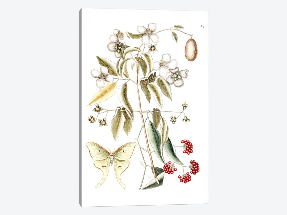 Four-Eyed Night Butterfly, Smilax Lanceolata (Laurel Greenbrier) & Philadelphus Inodorus (Scent Mock Orange) by Mark Catesby 1-piece Canvas Print