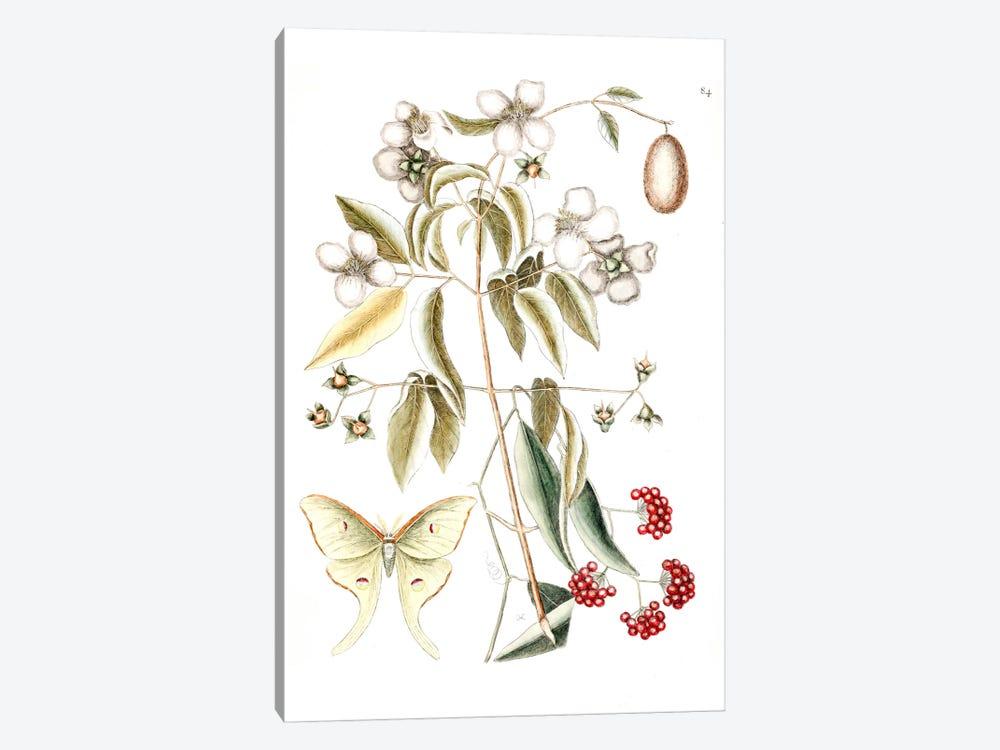 Four-Eyed Night Butterfly, Smilax Lanceolata (Laurel Greenbrier) & Philadelphus Inodorus (Scent Mock Orange) by Mark Catesby 1-piece Canvas Print