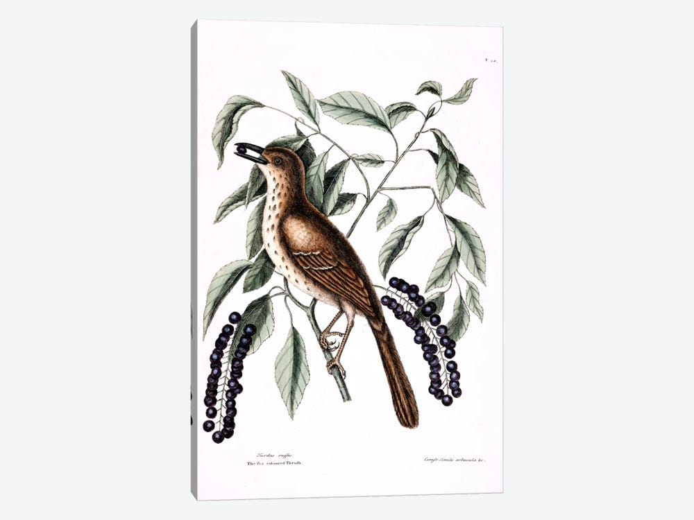 Fox-Colored Thrush (Brown Thrasher) & Clustered Black Cherry  by Mark Catesby 1-piece Canvas Art