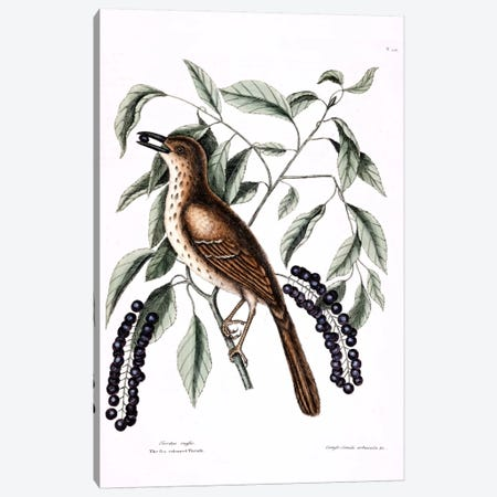 Fox-Colored Thrush (Brown Thrasher) & Clustered Black Cherry  Canvas Print #CAT63} by Mark Catesby Canvas Artwork