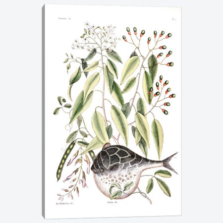 Globe Fish, Laurus Aectivalis & Phaseolus (Wild Bean) Canvas Print #CAT65} by Mark Catesby Canvas Art Print