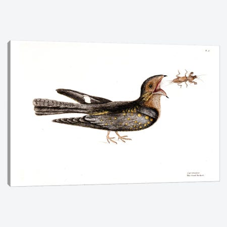 Goat Sucker Of Carolina & Mole Cricket Canvas Print #CAT66} by Mark Catesby Art Print