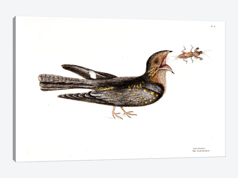 Goat Sucker Of Carolina & Mole Cricket by Mark Catesby 1-piece Canvas Print