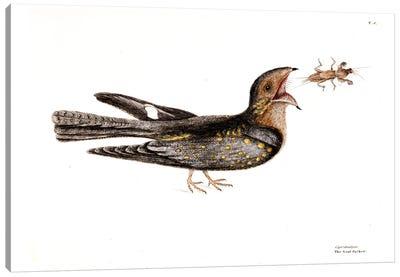 Goat Sucker Of Carolina & Mole Cricket Canvas Art Print