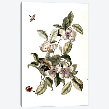Goldcrest, Ichneumon Wasp & Silky Camellia Canvas Print #CAT67} by Mark Catesby Art Print