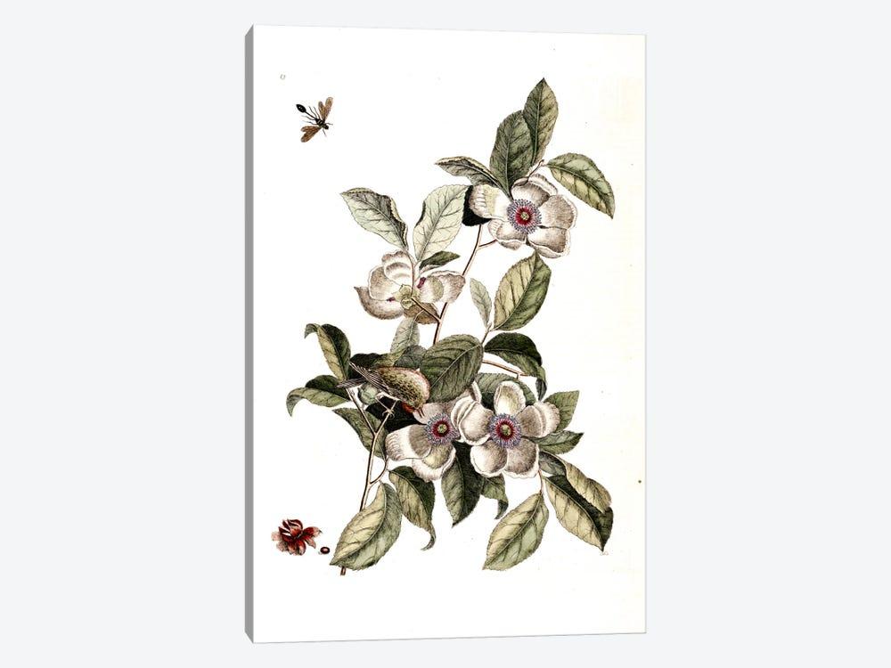 Goldcrest, Ichneumon Wasp & Silky Camellia by Mark Catesby 1-piece Canvas Art