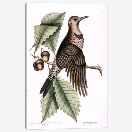 Golden-Winged Woodpecker & Chesnut Oak Canvas Print #CAT68} by Mark Catesby Canvas Artwork