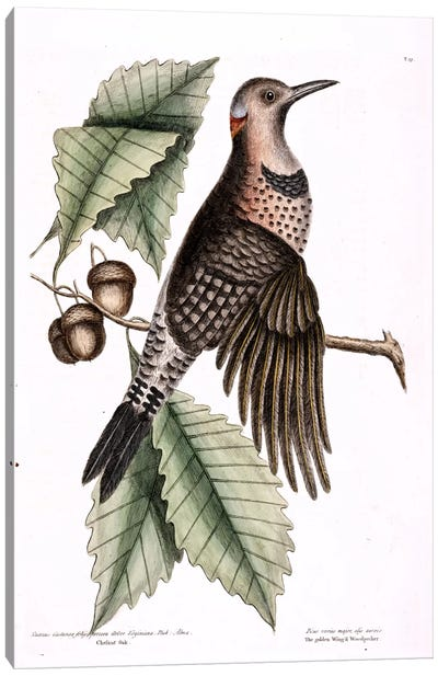 Catesby's Natural History Series: Golden-Winged Woodpecker & Chesnut Oak Canvas Print #CAT68