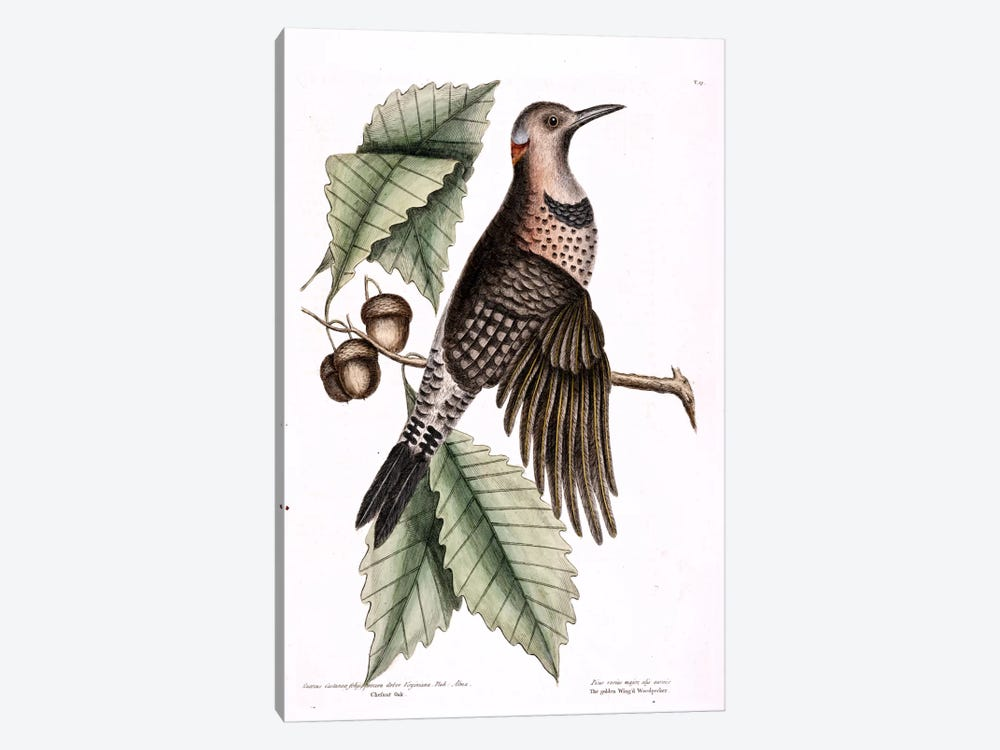 Golden-Winged Woodpecker & Chesnut Oak by Mark Catesby 1-piece Canvas Print