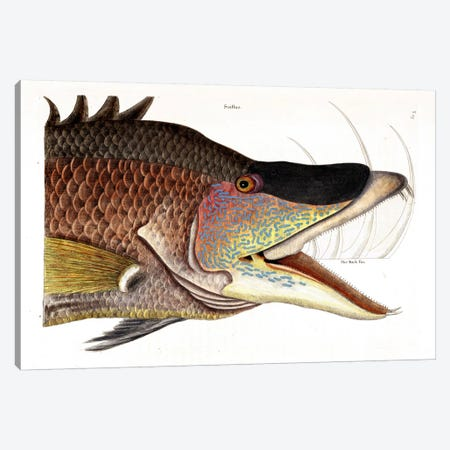 Great Hogfish Canvas Print #CAT69} by Mark Catesby Canvas Wall Art