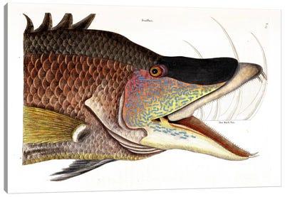 Great Hogfish Canvas Art Print